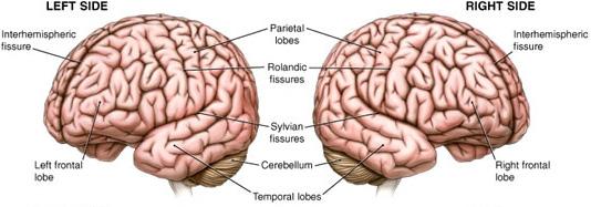 Фотография мозга. Левое и правое полушарие